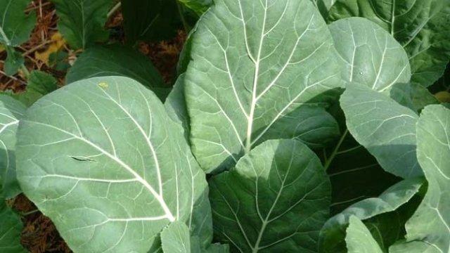 lahana - Nebiyan Yaylasında Neler Yetişir
