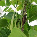 Nebiyan Fasülyesi 4 150x150 - Nebiyan fasülyesi tadıyla bölgenin en ünlü tarım ürünü