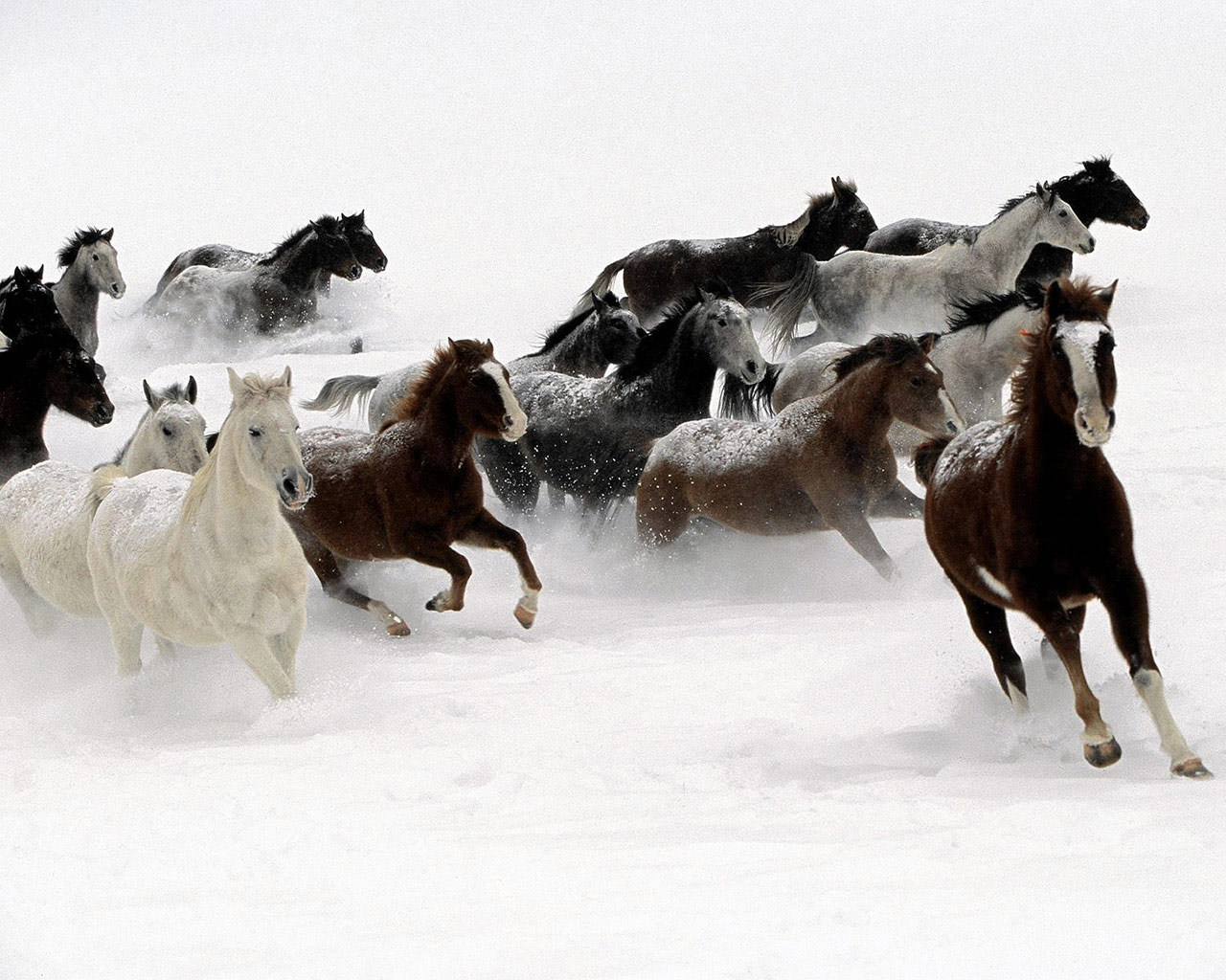 1280 Galloping Horse National Geographic Wallpaper - 1280_Galloping_Horse_National_Geographic_Wallpaper